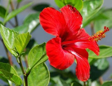 Hibiscus rosa-Sinensis: The National Flower of Malaysia   ProBloggerTricks   Scoop.it