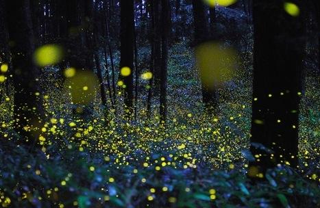 Comment des lucioles ont permis de sauver plus de 600 hectares de forêt au Mexique !  | The Blog's Revue by OlivierSC | Scoop.it