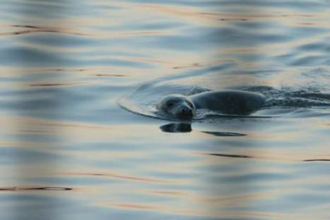Seal spotted in East River near waste transfer station | Oceans and Wildlife | Scoop.it