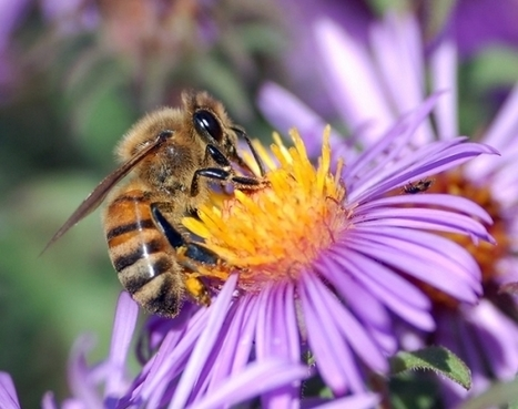Bees and Pesticides: 70% Contamination in Massachusetts | Food issues | Scoop.it