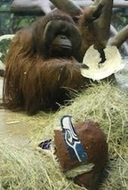 Psychic Orangutan Predicts Seahawks Super Bowl Victory | Strange days indeed... | Scoop.it