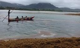 Sierra Leone's stinking seaweed linked to Caribbean invasion | Amocean OceanScoops | Scoop.it