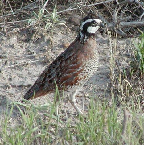 AgriLife Extension sets five Quail Appreciation Day programs in May   AgriLife Today   Trinity River Basin   Scoop.it