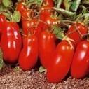 E' nato il pomodoro 'Super-bio'   Fuga dal benessere   Scoop.it