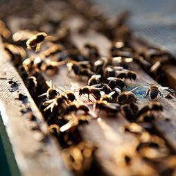 El plan de Monsanto para ayudar a la abeja - Technology Review en español | Varroosis | Scoop.it