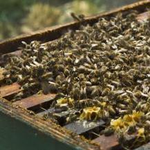 Kamer wil verbod op verkoop bijengif aan particulier - NU.nl | Rechtsstaat NL | Scoop.it