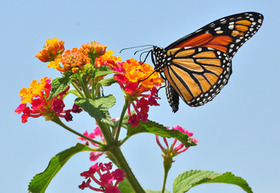 Save the Monarch Butterfly from extinction | GarryRogers Biosphere News | Scoop.it