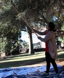 UA community harvests campus olive trees to make olive oil | Arizona Daily Wildcat | CALS in the News | Scoop.it