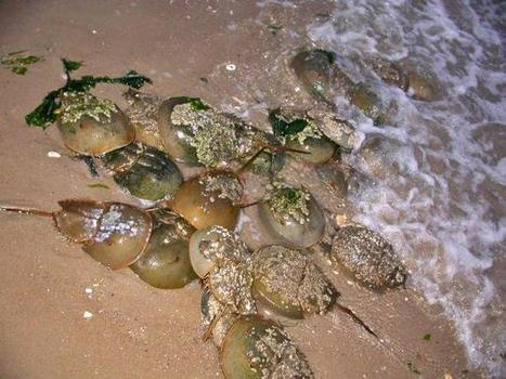 Horseshoe crabs are mating like crazy in Jamaica Bay, attracting poachers and ... - New York Daily News | Vloasis sci-tech | Scoop.it