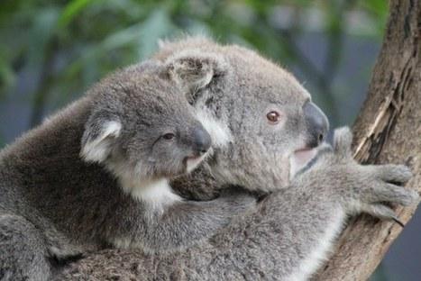 Tree-hugging koalas beat the summer heat - The Conversation | Extended Mind | Scoop.it