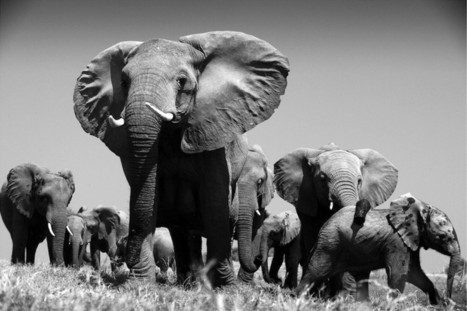 What I Wish More People Knew About Elephants   Research Capacity-Building in Africa   Scoop.it