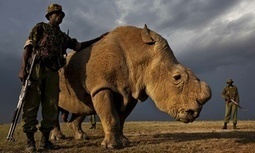 A picture of loneliness: The last male northern white rhino | Help save our Rhino | Scoop.it