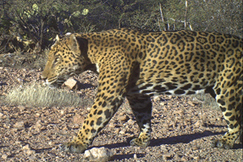 Jaguar tracks found in the Santa Ritas, says conservation group and UA geneticist | Deep Green Resistance Sonoran (Blog) | CALS in the News | Scoop.it