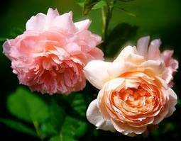 Speaking of Roses   Annie Haven   Haven Brand   Scoop.it
