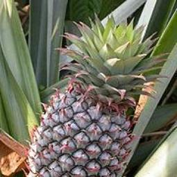 Research: Pineapple Enzyme Kills Cancer Without Killing You | Vertical Farm - Food Factory | Scoop.it