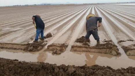 Heavy rains flood just-planted winter vegetables in Yuma, Ariz. area | Western Farm Press | CALS in the News | Scoop.it
