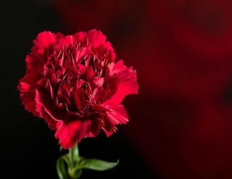 Red Carnation: The National flower of Spain   ProBloggerTricks   Scoop.it