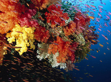 Corals — the oldest Creatures on the Earth | Indigo Scuba | Scoop.it