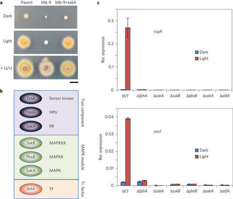 Fungi use the SakA (HogA) pathway for phytochrome-dependent light<br/>                    signalling | MycorWeb Plant-Microbe Interactions | Scoop.it