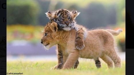Japon: L'amitié entre un bébé tigre et un lionceau fait fondre l'Internet | Biodiversité | Scoop.it