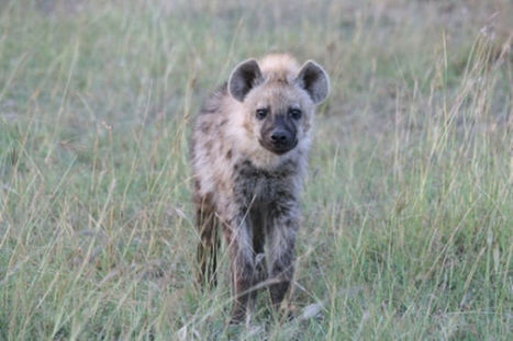 Facts About Hyenas | GarryRogers Biosphere News | Scoop.it