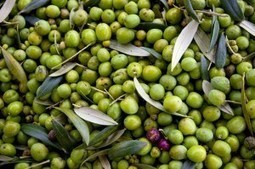 Environmental Impact of Olive Oil Processing Wastes | Sustain Our Earth | Scoop.it