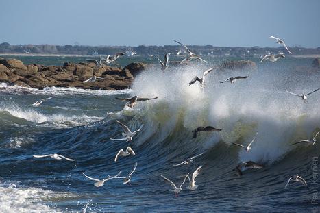 Bretagne - Finistère - Fouesnant : oiseaux à Beg Meil | Revue de Web par ClC | Scoop.it