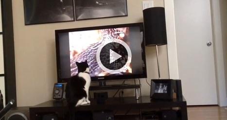 Un drôle de chat très curieux qui adore regarder la télé (Vidéo du jour) | CaniCatNews-actualité | Scoop.it