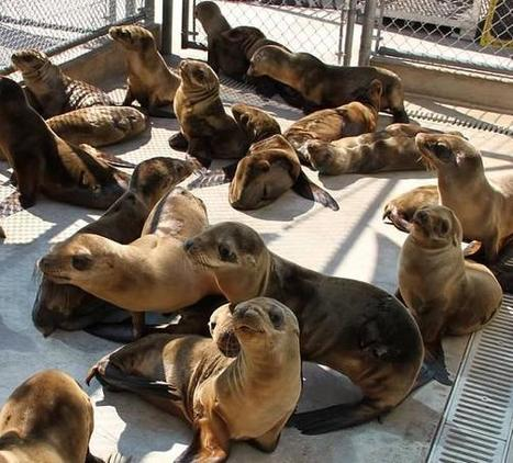 Lack of Sardines Leaves California Sea Lions Starving | All about water, the oceans, environmental issues | Scoop.it