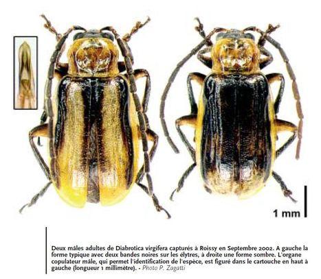 Alpes-de-Haute-Provence : Une zone tampon pour la culture du maïs   EntomoNews   Scoop.it