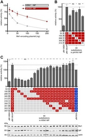 PLOS Pathogens: Pandemic Influenza A Viruses Escape from Restriction by Human MxA through Adaptive Mutations in the Nucleoprotein | Virology and Bioinformatics from Virology.ca | Scoop.it