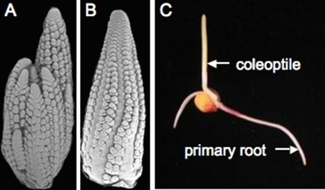 Genetic, evolutionary and plant breeding insights from the domestication of maize | plant cell genetics | Scoop.it