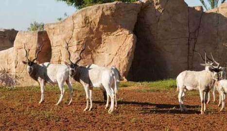 19 nouvelles naissances au Jardin zoologique national de Rabat (Maroc) | Zoos Fermes Parcs | Scoop.it
