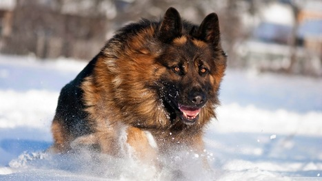 German Shepherds: An Ultimate Breed To Be Used As Pets | Florida Golden Retriever puppies for sale | Scoop.it