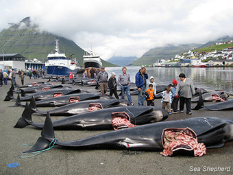 Sea Shepherd :: Sea Shepherd Challenges Denmark at the European Commission | Nature Animals humankind | Scoop.it