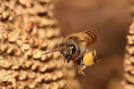 City bees don't eat processed sugar | Biodiversity protection | Scoop.it