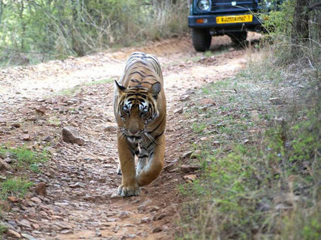 Tiger Sultan AKA T-72 Resighted in the Ranthambore National Park | India Travel & Tourism | Scoop.it