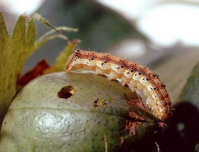 Pests growing resistant to genetically modified crops   United Press International   CALS in the News   Scoop.it