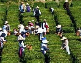 Início de colheita do chá no Porto Formoso | Açores | Scoop.it