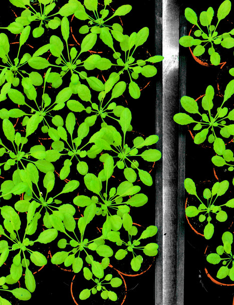 New content in open access journal The Arabidopsis Book! Including Shade Avoidance, Female Gametophyte and more | Plant Genomics | Scoop.it