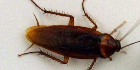 Les cafards pourraient être les antibiotiques de demain - LeMonde.fr | Le petit musée des cafards | Scoop.it