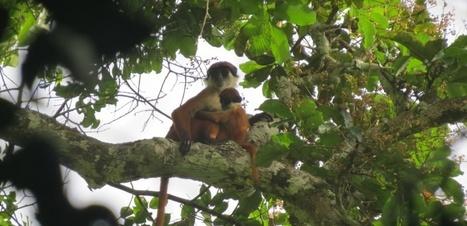Un singe rare photographié pour la première fois | Merveilles - Marvels | Scoop.it