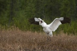 Wood Buffalo National Park selling front row seats to #whooping #cranes' #nesting area | NWT News | Scoop.it