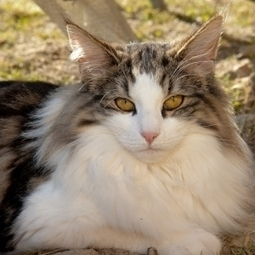Swedish Forest Cat | Cat Breeds Information | Scoop.it