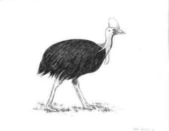 Ask the Bird Folks: Be wary of the Australian cassowary | 50s-80s  Pop Music | Scoop.it