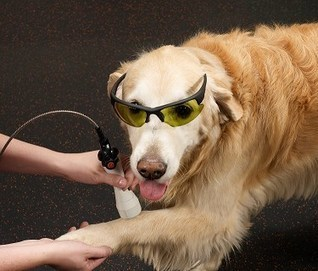 Laser Therapy for Dogs | Elearning Vet | Scoop.it