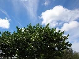 Clusia (Clusia rosea) - FazFácil | paisajismo | Scoop.it