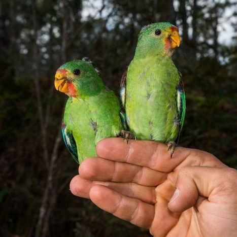 Swift parrot babies begin their migration north | All Things Zygodactyl | Scoop.it
