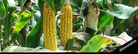 Qu'est ce que l'OGM NK603? | Toxique, soyons vigilant ! | Scoop.it