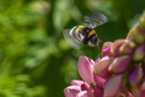 Bumblebees found to have emotions and moods | De Natura Rerum | Scoop.it